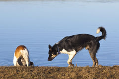 Inqusitive dogs Royalty Free Stock Photos