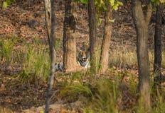 Inramad tigrinna Fotografering för Bildbyråer