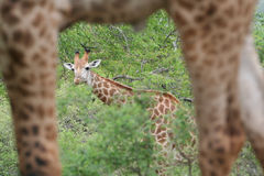 inramning giraff Arkivbild