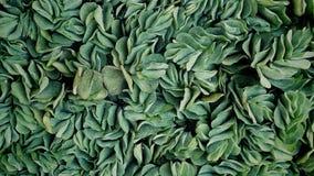 inramning grön horisontal fotoväxt Royaltyfri Fotografi