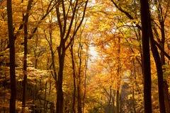 Inre av Autumn Beechen Forest, Sulov berg, Slovakien Royaltyfria Bilder