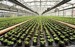 Inre av ett kommersiellt växthus Royaltyfri Bild
