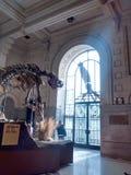 Inre av museet, med en dinosaurie arkivbild
