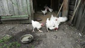Inre lantlig feg lantgård med den sunda miljön, feg matning vid naturligt korn lager videofilmer