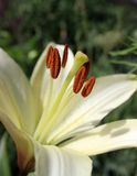 inre lilja Makro av stamens för vit lilja Arkivfoton