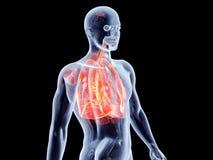 Inre organ - Lungs Arkivfoto