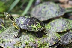 inre sköldpaddor för madrid stadiondrev royaltyfri bild