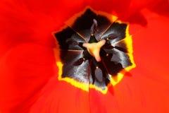 Inre tulpan för detaljerad makrosikt Royaltyfri Fotografi