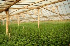 Inre växthus för krysantemumlantgård Arkivbilder