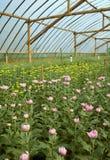 Inre växthus för krysantemumlantgård Arkivfoto