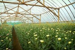 Inre växthus för krysantemumlantgård Royaltyfri Bild