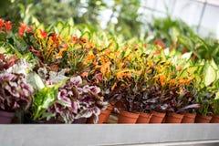 Inre växthus med att växa för växter Arkivfoto