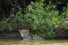 InRiver sauvage de Jaguar par la jungle, Front View Image libre de droits