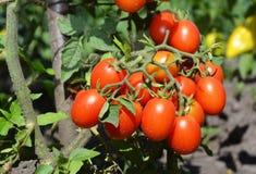 Ins de los tomates de cereza el jardín Los tomates de cereza son uno de los veggies más fáciles a crecer Imagen de archivo libre de regalías