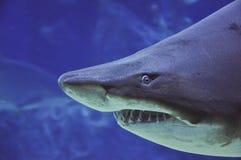 Insabbi la fine del underwater dello squalo tigre (carcharias taurus) sul portrai fotografia stock libera da diritti