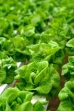 Insalata del cavolo verde su farmlan Fotografia Stock Libera da Diritti