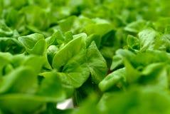 Insalata del cavolo verde su terreno coltivabile Fotografia Stock