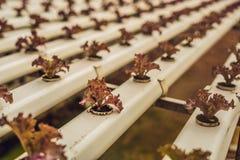 Insalata del corallo rosso, azienda agricola idroponica organica dell'insalata, lattuga di foglia rossa Fotografia Stock