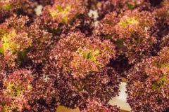 Insalata del corallo rosso, azienda agricola idroponica organica dell'insalata, lattuga di foglia rossa Fotografia Stock Libera da Diritti