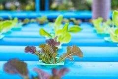 Insalata della verdura di coltura idroponica Immagini Stock Libere da Diritti