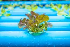 Insalata della verdura di coltura idroponica Immagine Stock