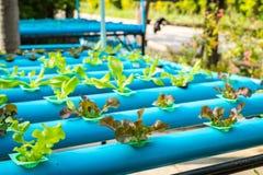 Insalata della verdura di coltura idroponica Fotografie Stock Libere da Diritti