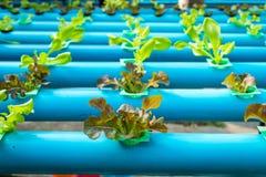 Insalata della verdura di coltura idroponica Immagine Stock Libera da Diritti
