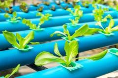 Insalata della verdura di coltura idroponica Fotografia Stock Libera da Diritti