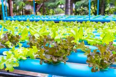 Insalata della verdura di coltura idroponica Fotografie Stock