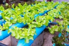 Insalata della verdura di coltura idroponica Immagini Stock