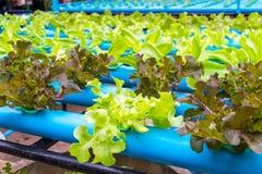 Insalata della verdura di coltura idroponica Fotografia Stock