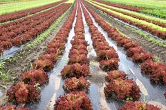insalata di rosso di lollo Fotografia Stock Libera da Diritti