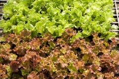 Insalata di verdure idroponica Fotografia Stock
