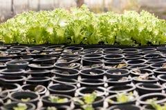 Insalata di verdure idroponica Immagini Stock