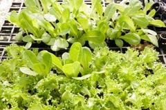 Insalata di verdure idroponica Fotografie Stock Libere da Diritti