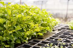 Insalata di verdure idroponica Immagine Stock