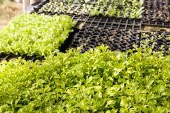 Insalata di verdure idroponica Immagini Stock Libere da Diritti