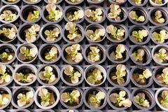 Insalata di verdure idroponica Fotografie Stock