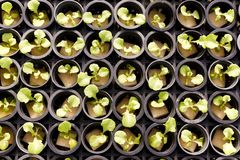Insalata di verdure idroponica Immagine Stock Libera da Diritti