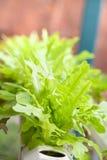 Insalata fresca della lattuga organica nel campo di verdure idroponico Fotografie Stock