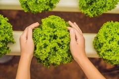 Insalata in mani preoccupantesi Azienda agricola idroponica dell'insalata delle verdure Hydropo Fotografie Stock Libere da Diritti