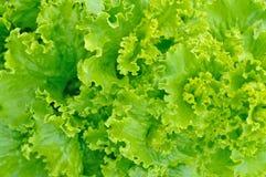 Insalata verde Immagini Stock Libere da Diritti