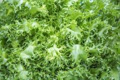 Insalata verde Immagine Stock