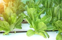 Insalata verde della lattuga in azienda agricola idroponica Fotografia Stock