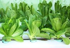 Insalata verde della lattuga in azienda agricola idroponica Fotografia Stock Libera da Diritti