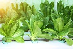 Insalata verde della lattuga in azienda agricola idroponica Immagine Stock