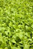 Insalata verde fresca della lattuga Immagini Stock Libere da Diritti
