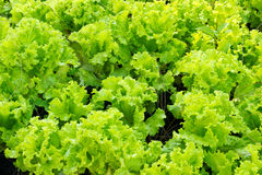 Insalata verde fresca della lattuga Fotografia Stock Libera da Diritti