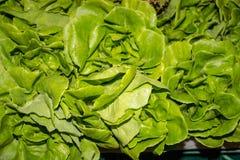 Insalata verde fresca della lattuga Fotografia Stock