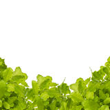 Insalata verde isolata su bianco Fotografia Stock
